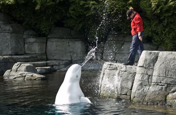 Beluga Enjoys Spraying Trainer