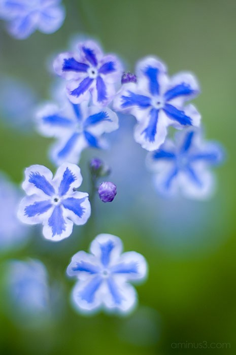 benno white, flowers, blue, close up, macro