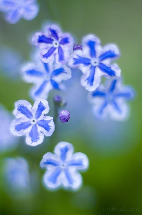 benno white, flowers, blue, close up, macro