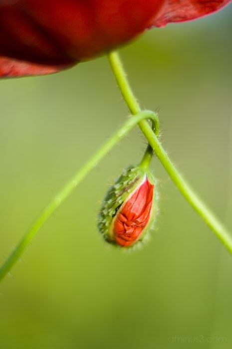 corn Poppy, Field Poppy; Flanders Poppy, Papaver r