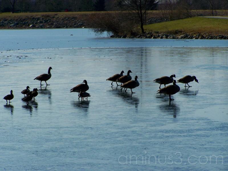 Canada Goose Lake Elkhorn Columbia MD