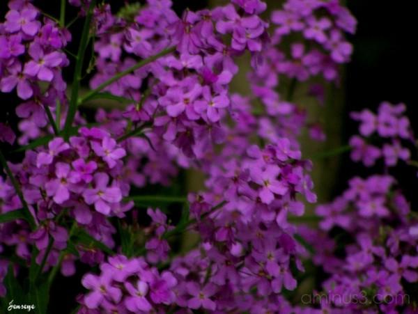 Dusky Purple