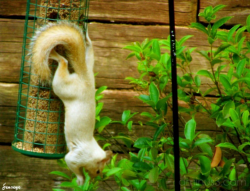 White Squirrel (Non Albino)