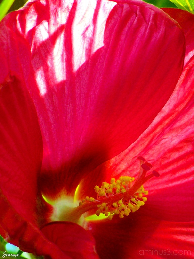 Luna Red Hibiscus