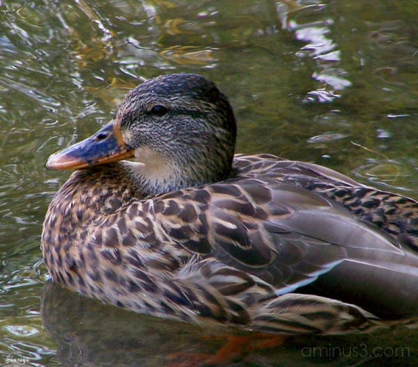 Mallard Duck Webb Bridge Park GA