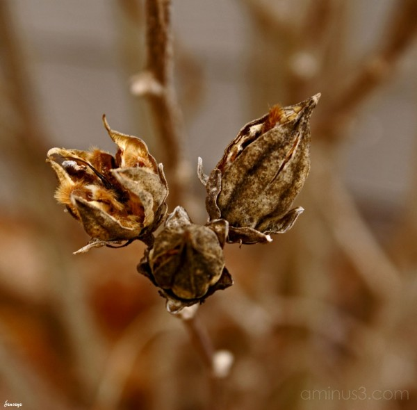 Dormant Hibiscus