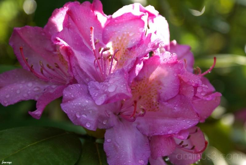 Pink Purple Azaleas
