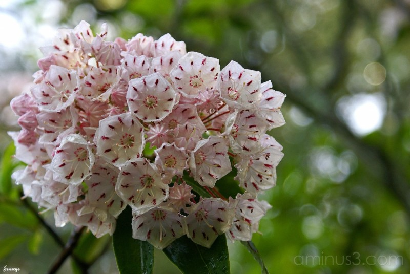 Mountain Laurel Tallulah Gorge State Park GA