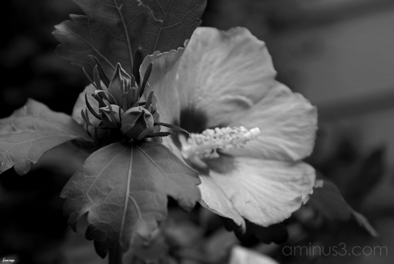 Black and White Hibiscus