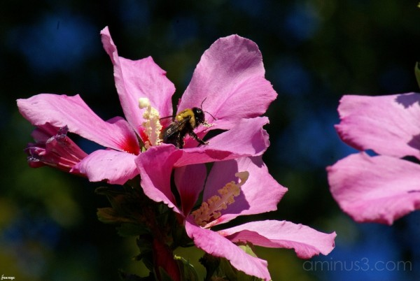 Bee and Hibiscus Flower