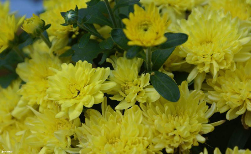 Yellow Mums