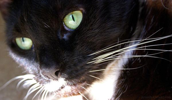 Tuxedo Cats Green Eyes