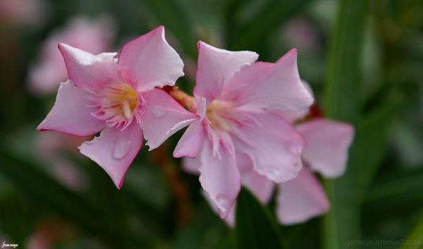 Pink Puerto Rico Flowers