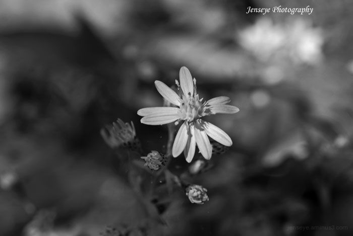Plant Flower BlackWhite Wildflower Smoky Mountains