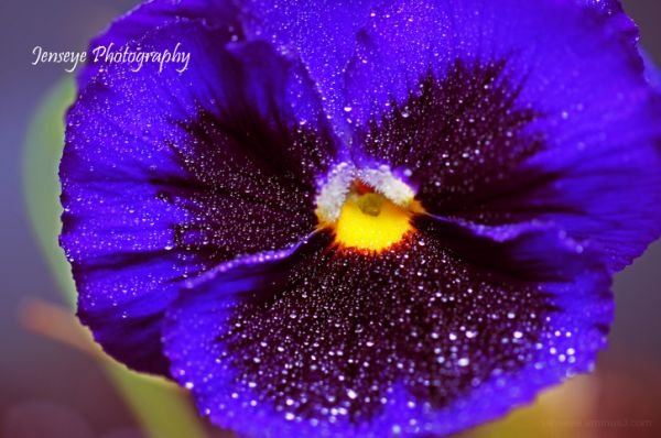 Plant Nature Flower Purple Pansy Water Droplets