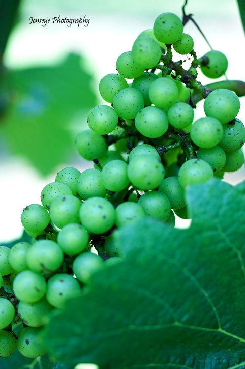 Plant Grapes Vineyard Yonah Mountain