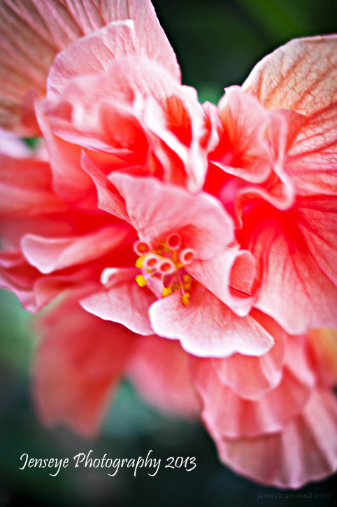 Flower Plant Peach Hibiscus Tropical