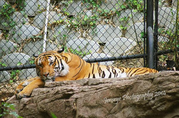 Animal Tiger San Diego Zoo California