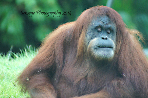 Animal Orangutan San Diego Zoo California