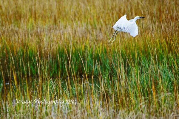 Golden Marsh Egret Bird Coast St Simons Island GA
