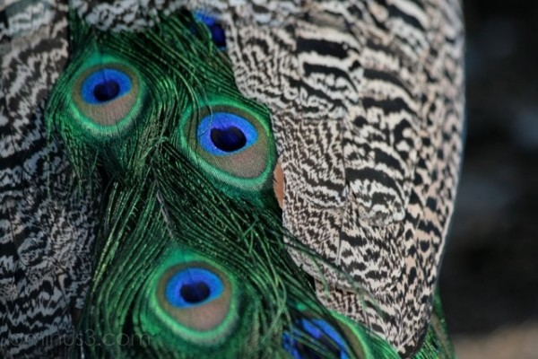 Peacock Macro