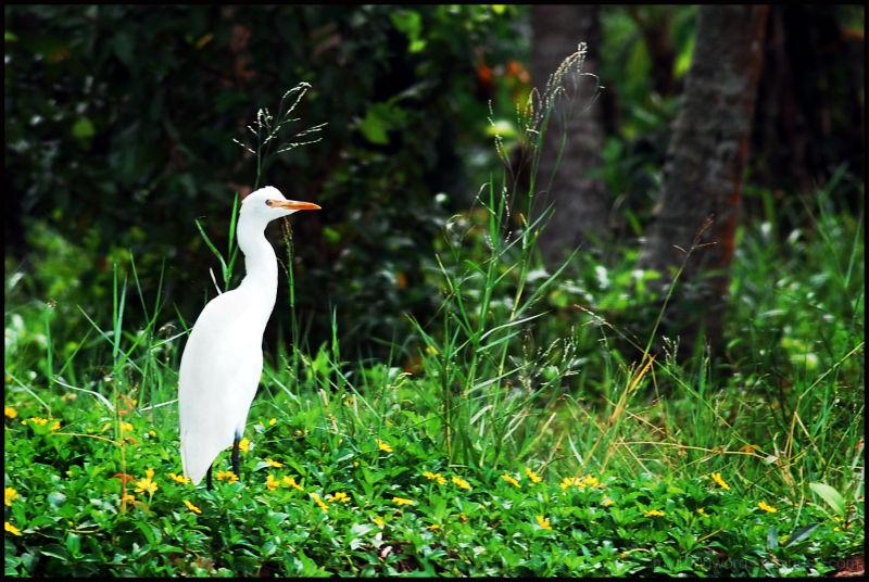 the common white heron