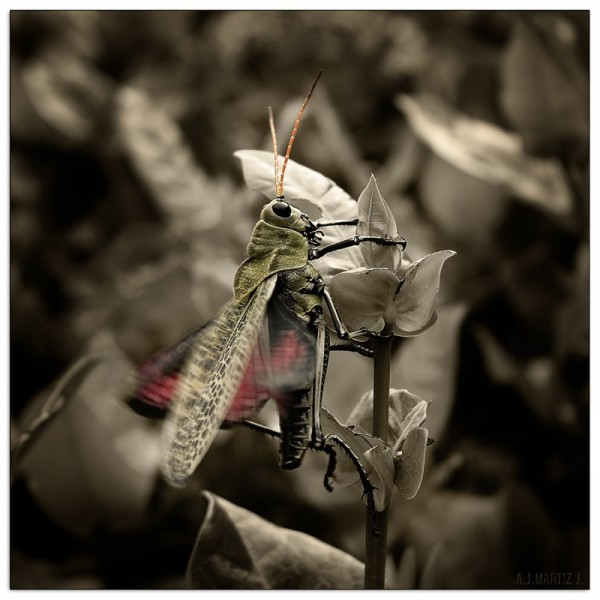 Orthoptera:Romaleidae