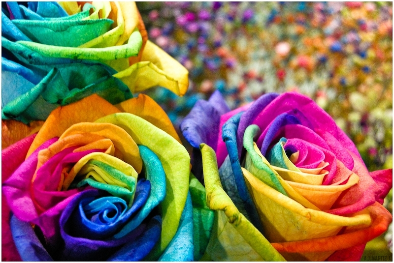 Rare multi colors rainbow rose flower seeds garden plant for Buy rainbow rose seeds