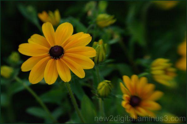 Gaillardia in Color