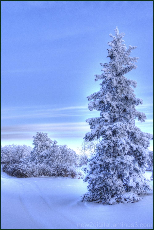 Mom's Beautiful Evergreen in Winter