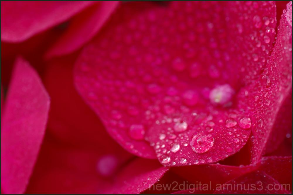 Blushing Dew