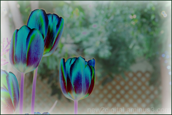 Tulips on Acid?