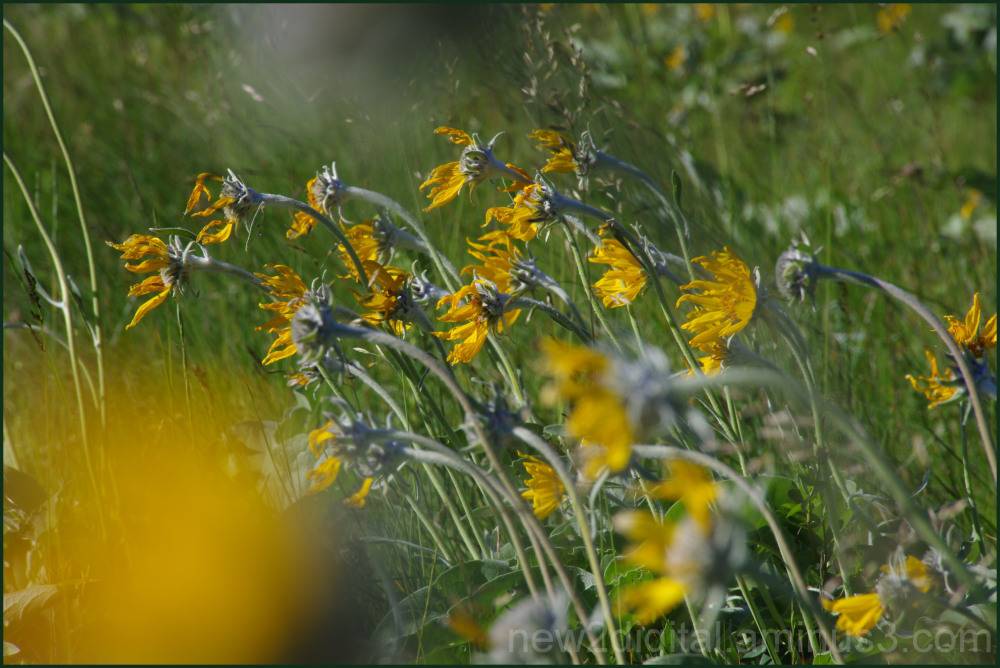 Wild Flowers of Waterton 2/7