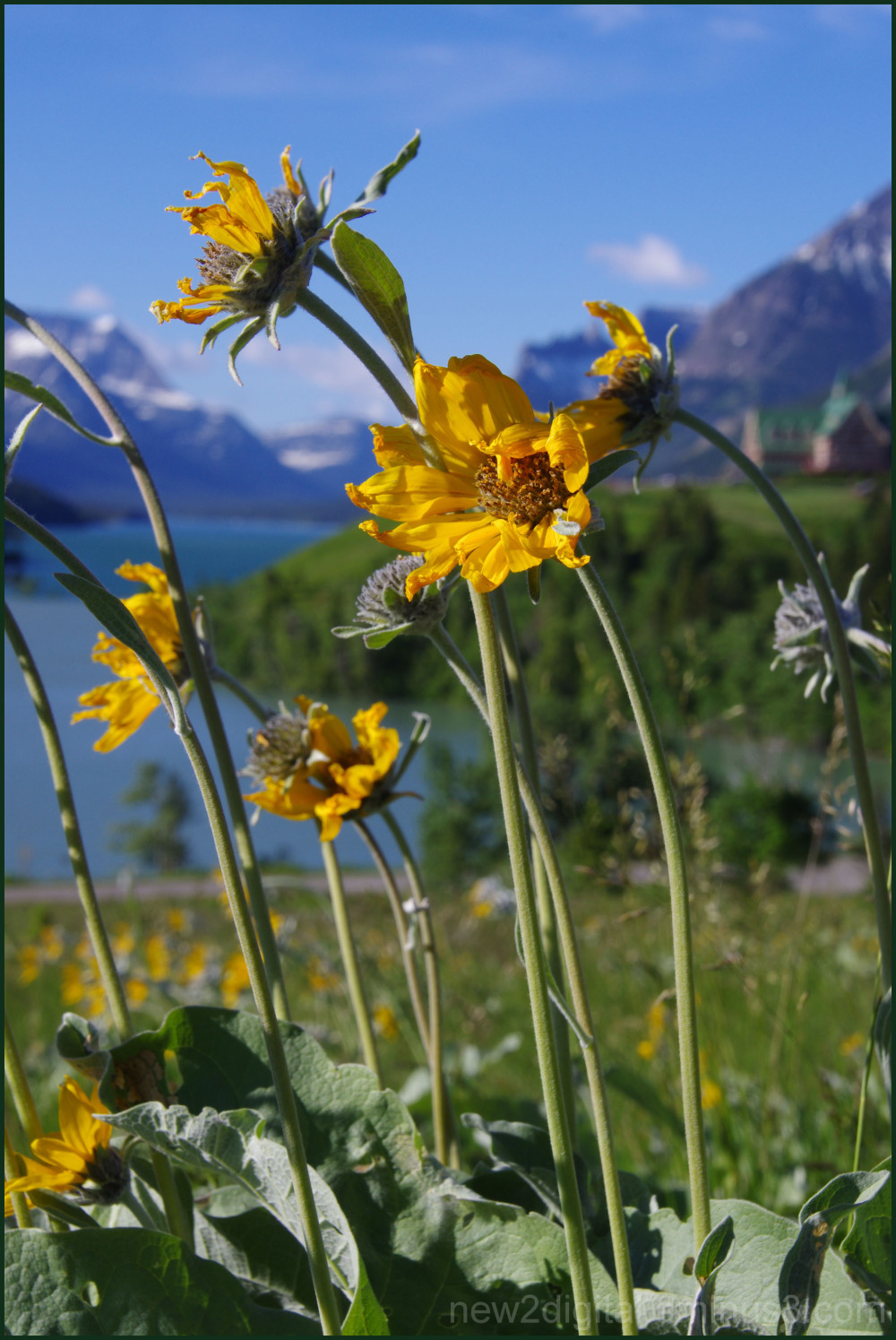 Wild Flowers of Waterton 4/7