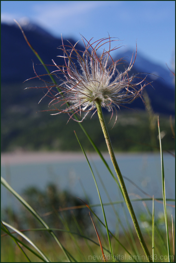 Wild Flowers of Waterton 6/7