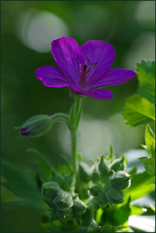 Wild Geranium 1/2