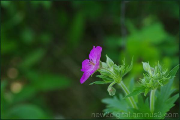 Wild Geranium 2/2