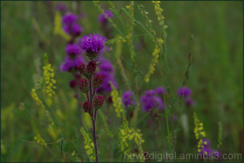 Prairie Wildflowers 3/3