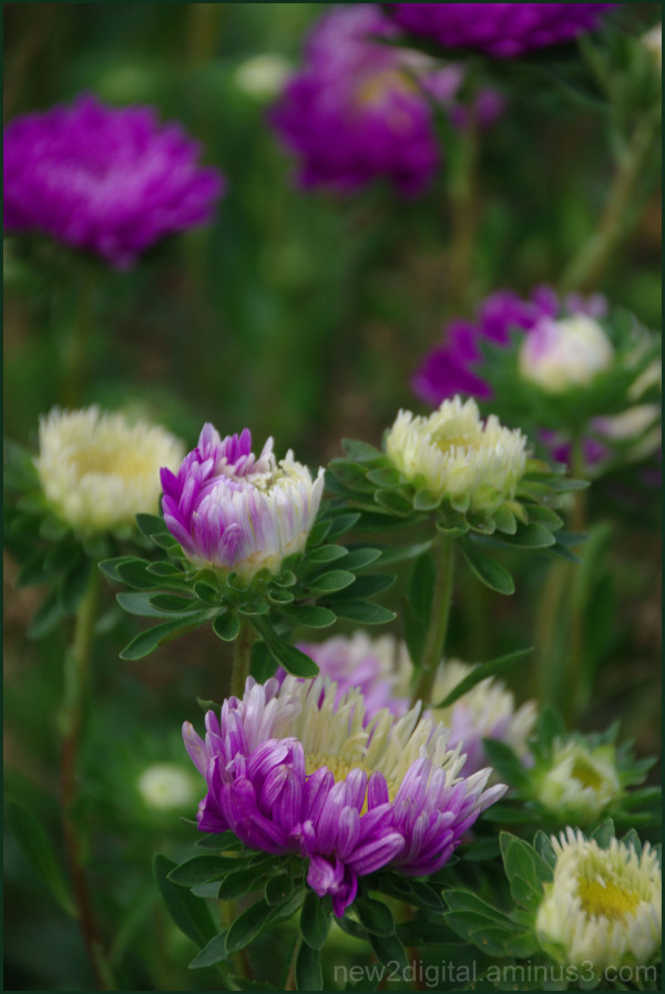 Mom's Asters