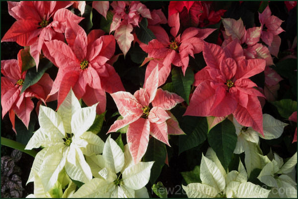 Many Poinsettas