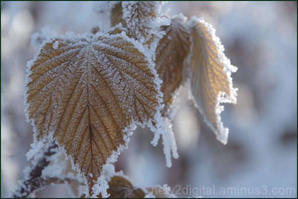 Frost in the Raspberry Patch 3/3