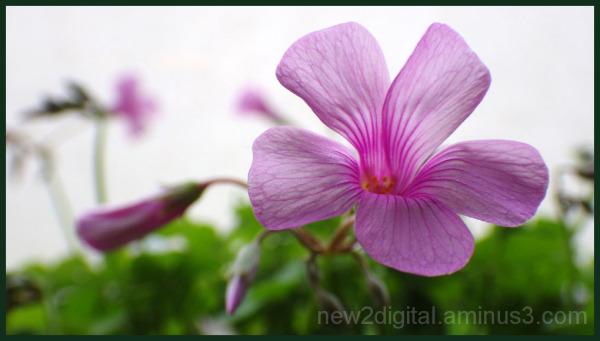 Shamrock Green Blooms Pink