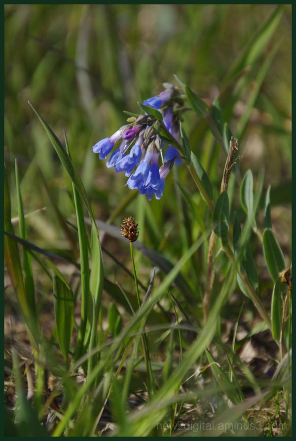 Prairie Wildflower - Bluebell