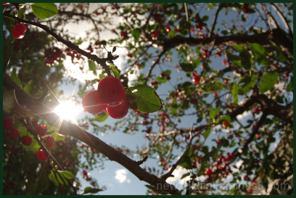 Sun Kissed Cherries