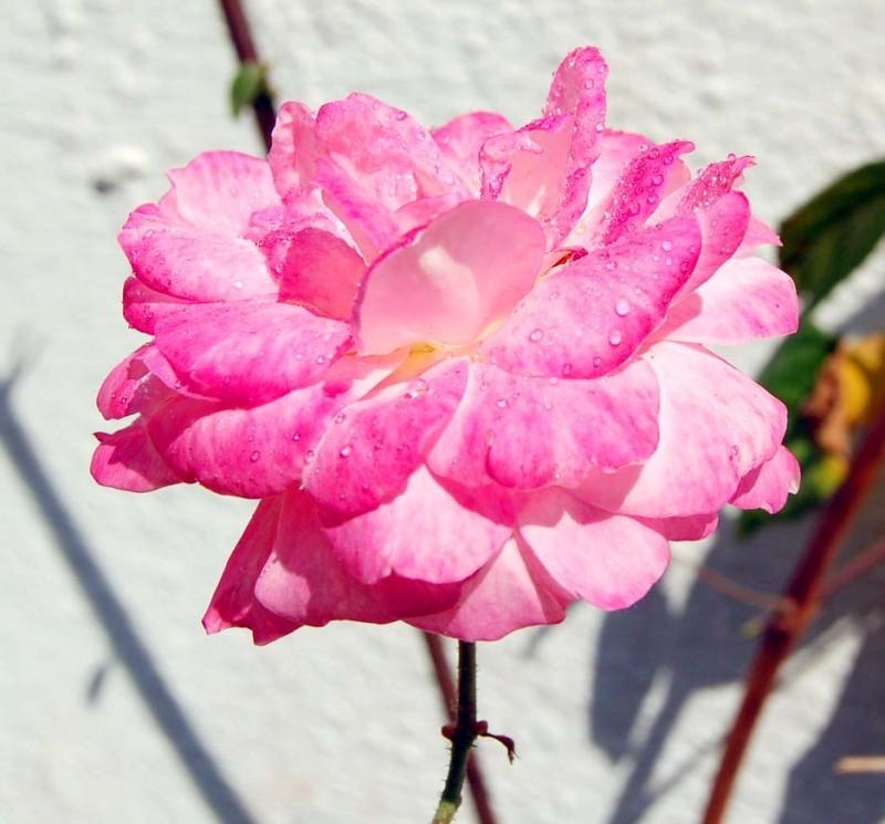 Thirsty Rose...