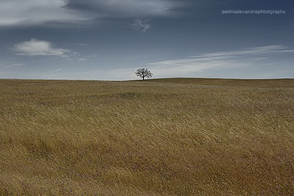 alentejo the only tree