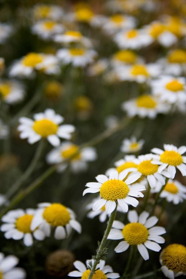 Margaritas salvajes  /  Wild daisies