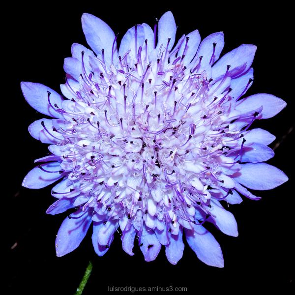 Flower Blue