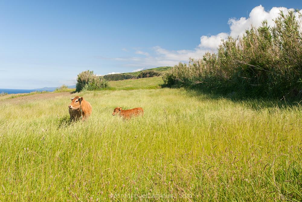 Animal Cow Faial Azores Portugal
