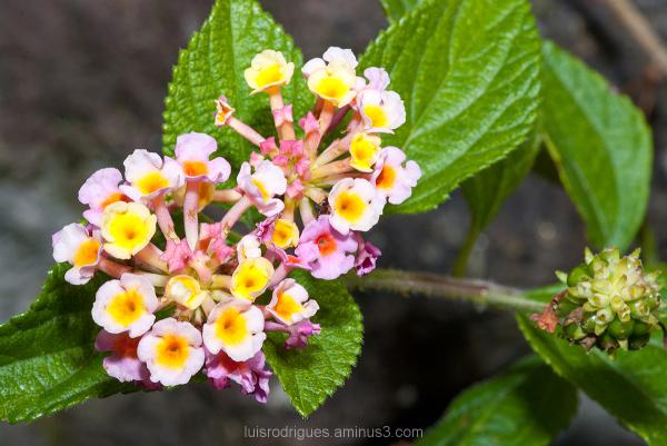 Pico Flowers Portugal Azores